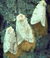 how to kill gypsy moth eggs